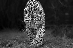 Leopard Stalk Web.jpg