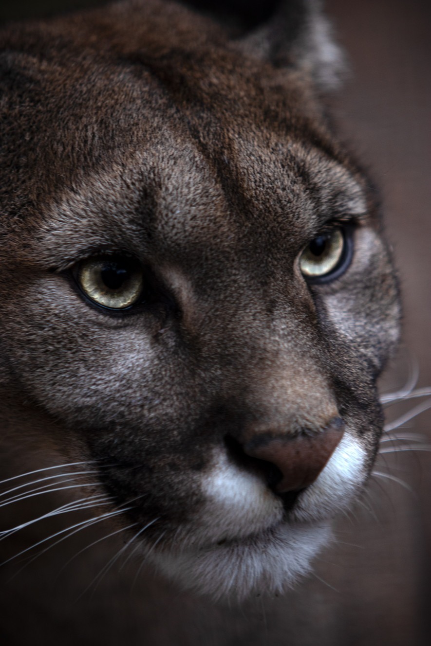 American Cougar Small.jpg