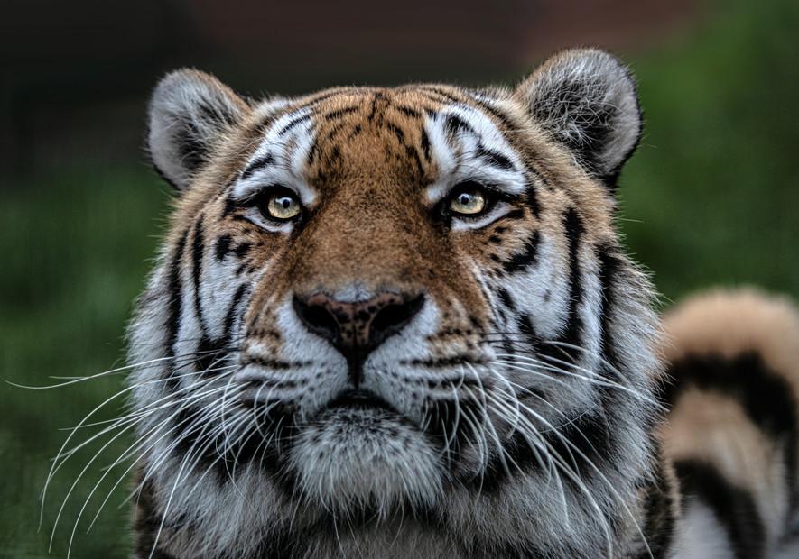 Looking Up Tiger.jpg