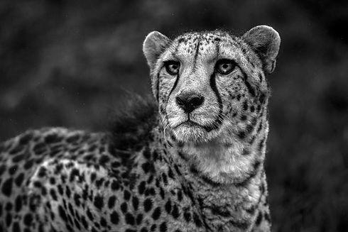 Cheetah Wisdom Small.jpg