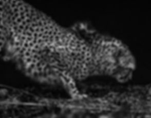 Cheetah Fine Art Daniel K Swan Discovery