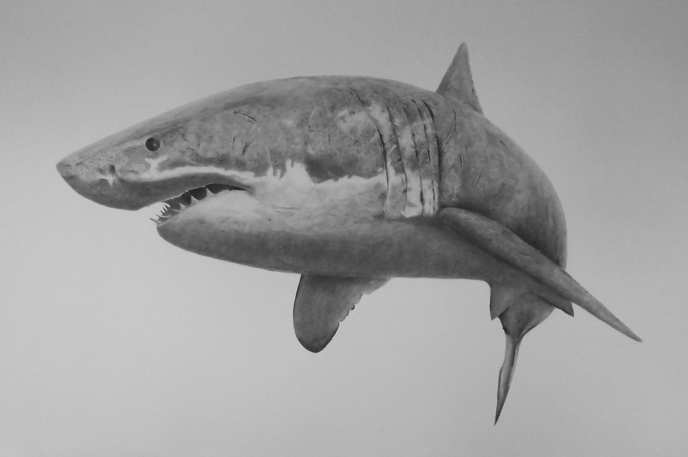 This life size drawing on paper of a Great White Shark can now be found on the Saatchi Art website.