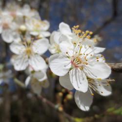 Leap Valley - Early blossom, Glenn Johnson.jpg
