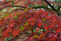 Red Leaves Steve Court.jpg