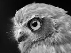 14_Owl_Pete Ricketts.jpg