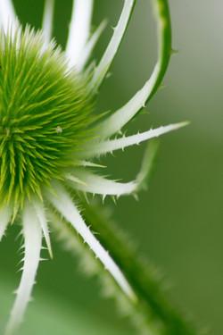 teasle green1, Jon Bird.jpg