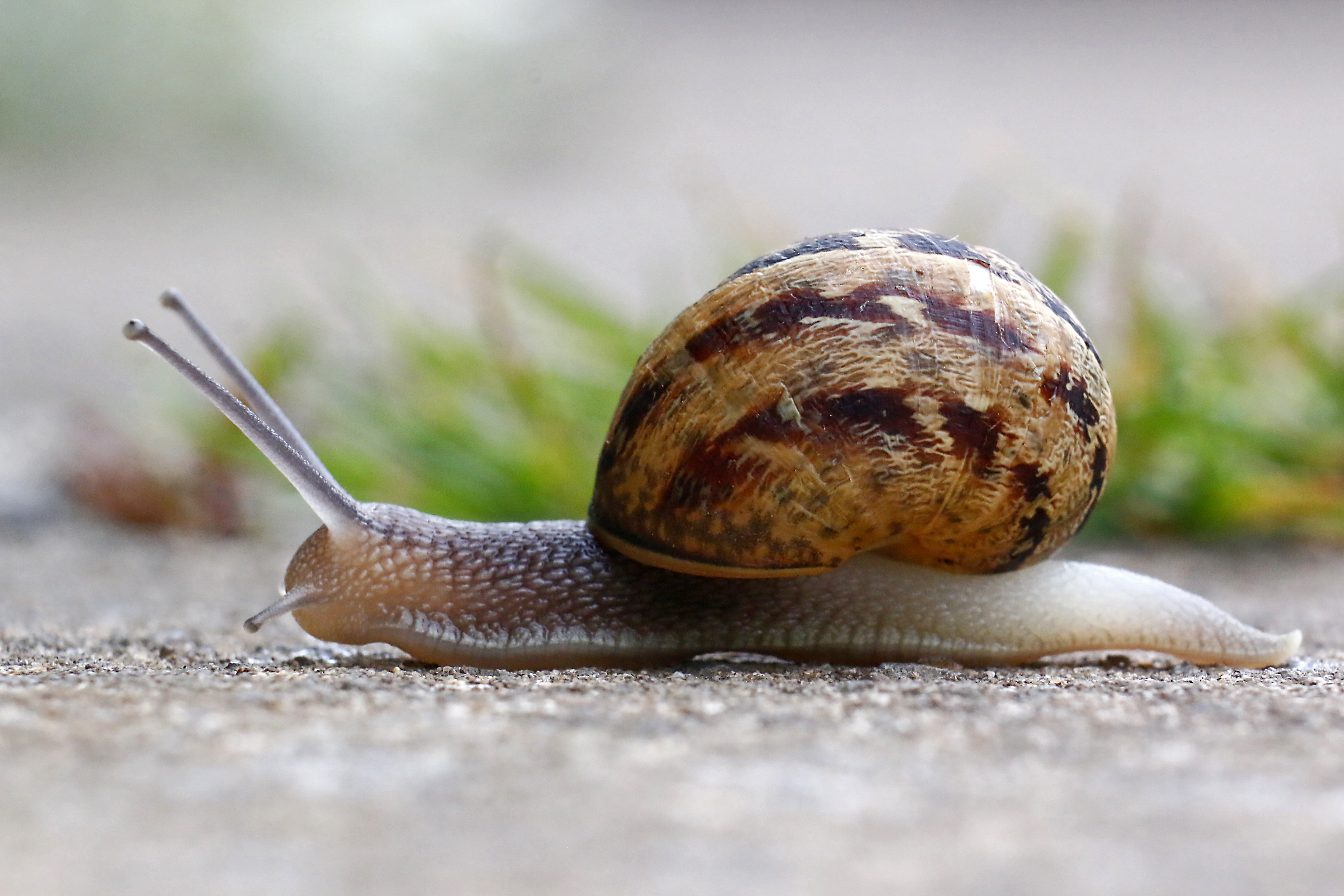 Snail, Pete Ricketts.jpg