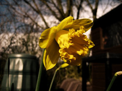 LILY AND LOU PICTURE OF A DAFFODIL OILY.jpg