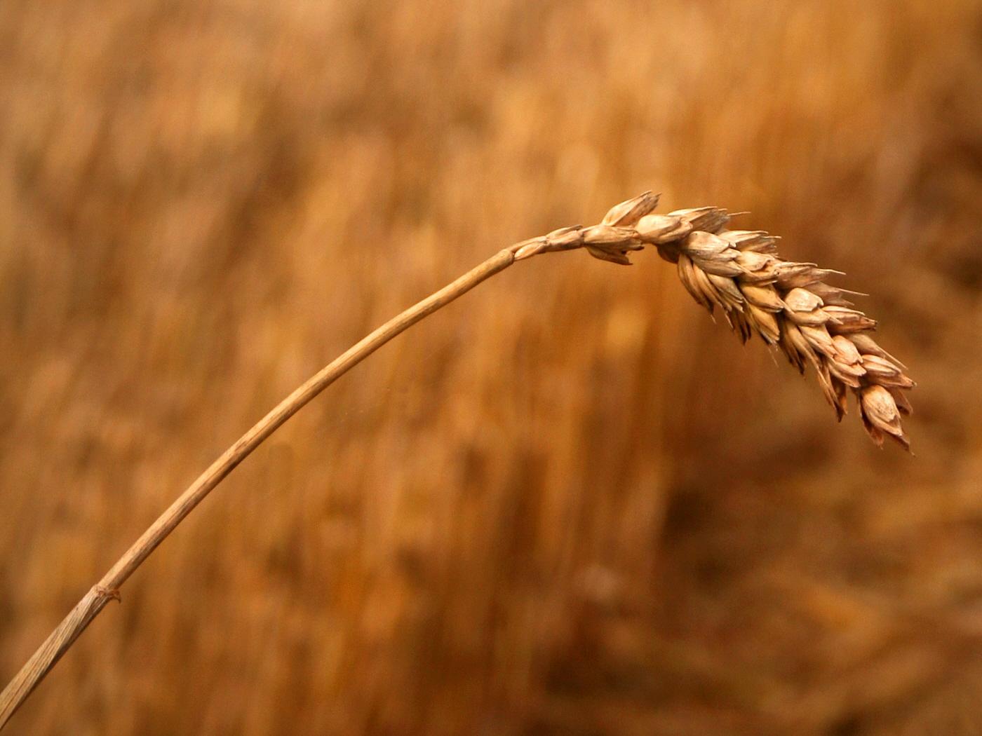 Golden Wheat.jpg