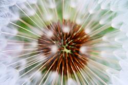 dandelion1, Jon Bird.jpg