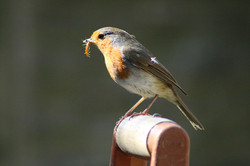 robin2, Jon Bird.jpg