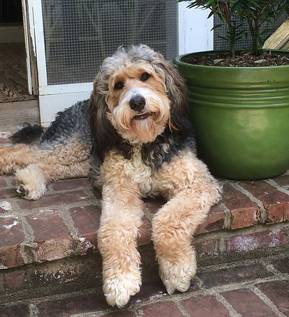 Annie, our Bernedoodle