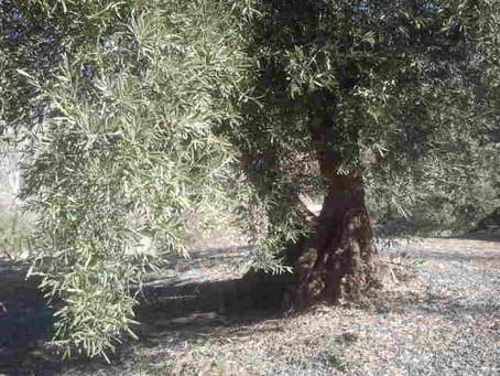 7 variedades de aceitunas para hacer aceite y sus características