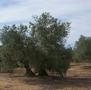 olivar-de_castro_6.jpg