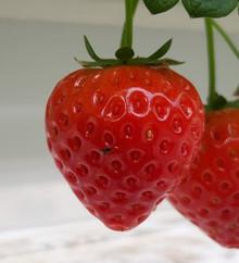 Teeltupdate Aardbeien