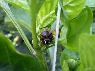 Nezara viridula (zuidelijke groene stinkwants) al gevonden op enkele paprika bedrijven