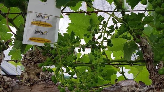 Biologische bestrijders doen goed hun best in de Westlandse druiventeelt