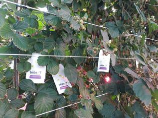 Tripsbestrijding onder LED-Belichting in Braam