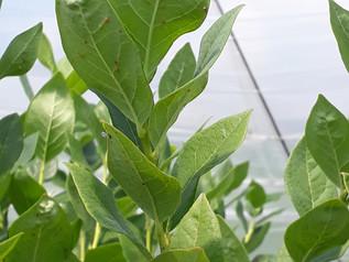 Biologische gewasbescherming in de boomkwekerij