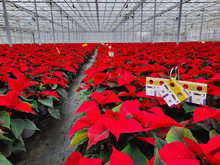 Bemisiabestrijding in Poinsettia is topsport!