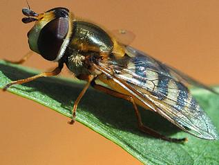 Zweefvlieg krachtig nieuw wapen tegen bladluis