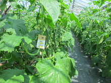 Roofmijten in komkommerteelt met Nutrimite™ op volle sterkte