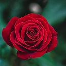 roses-003.jpg