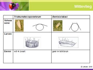 Mengpopulatie witte vlieg