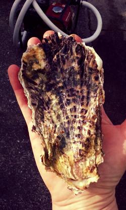 Jumbo Oysters