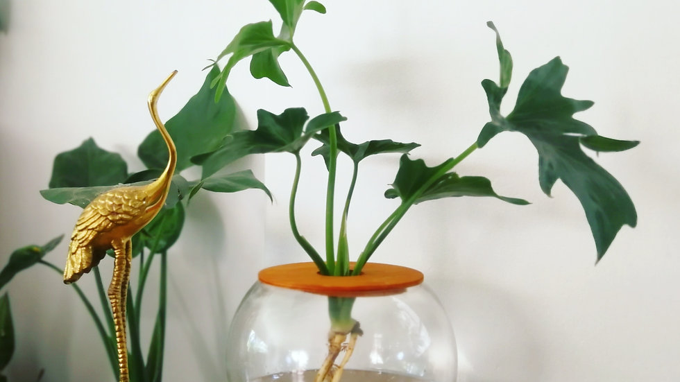 Replacement Philodendron Selloum for 15cm Fishbowl - PLANT ONLY