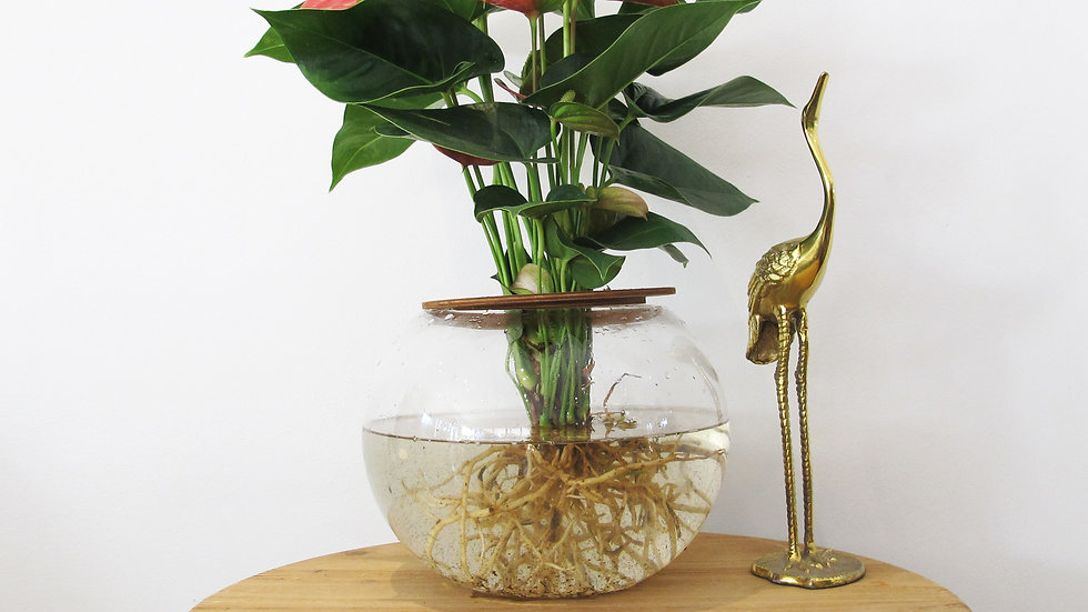 20cm Fishbowl with Anthurium Lily - Pink