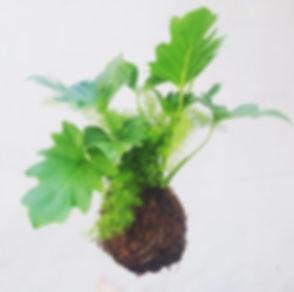 philodendron fern kokadama.jpg