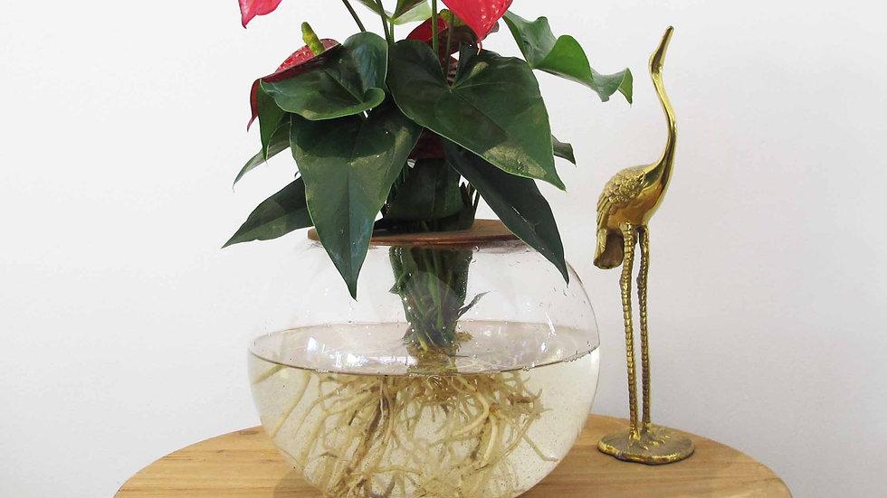 20cm Fishbowl with Anthurium Lily - Orange
