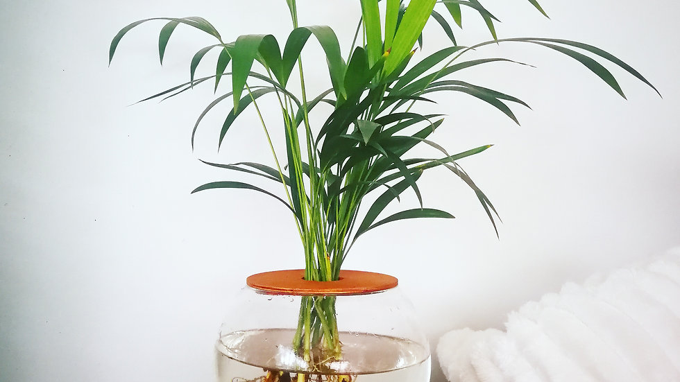 15cm Fishbowl with Areca Bamboo