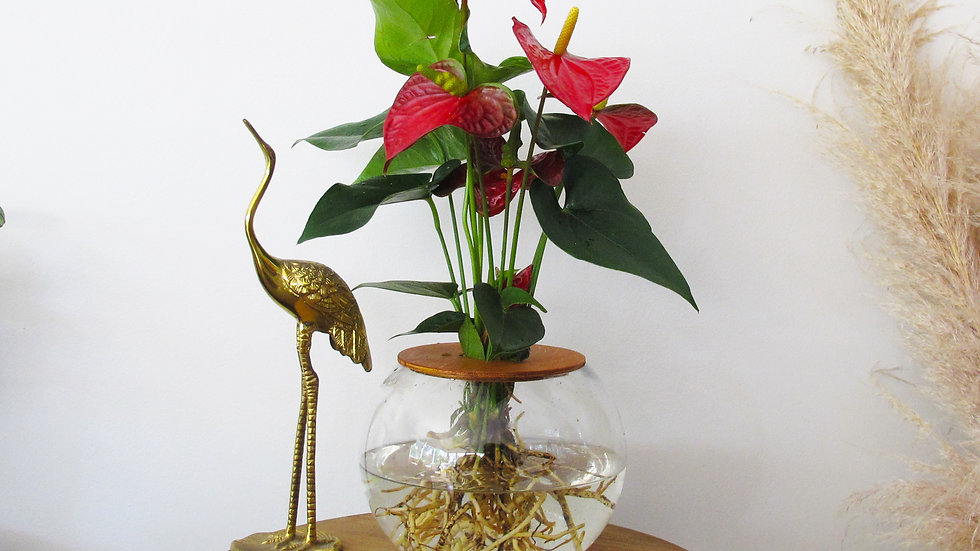 20cm Fishbowl with Anthurium - Red