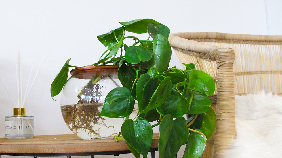 10cm Fishbowl with Heart Leaf Philodendron