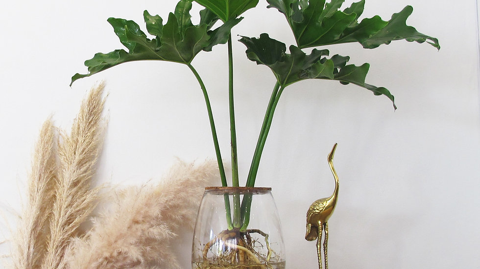 Replacement Philodendron Selloum for 24cm Barrel vase - PLANT ONLY