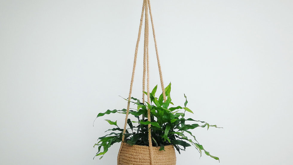 Hanging Basket with Kangaroo Fern