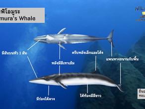 ภาพตัวอย่างวาฬโอมูระ