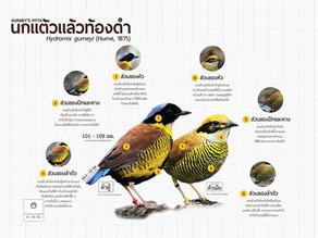 นกแต้วแร้วท้องดำ(Gurney's Pitta)