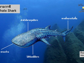 ภาพตัวอย่างฉลามวาฬ