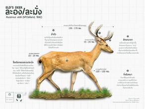 ละอง หรือละมั่ง (Eld's Deer)