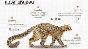 แมวลายหินอ่อน(Marbled Cat)