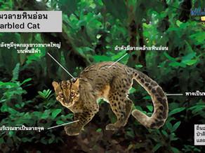 ภาพตัวอย่างแมวลายหินอ่อน