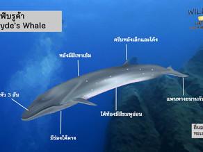 ภาพตัวอย่างวาฬบรูด้า