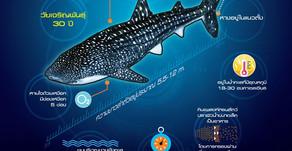 ฉลามวาฬ(Whale shark)