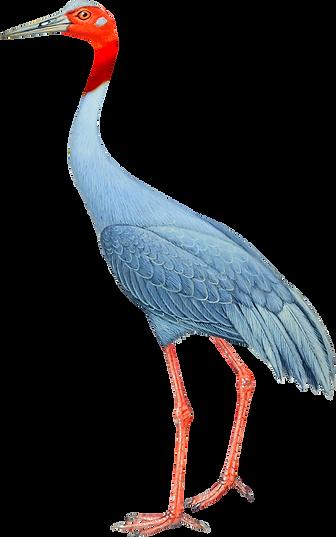 sarus crane2.png