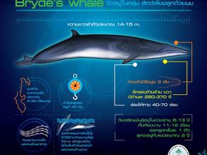 วาฬบรูด้า, วาฬแกลบ (Bryde's Whale, Eden's Whale)