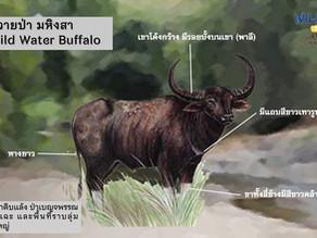 ภาพตัวอย่างควายป่า