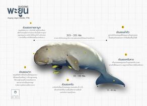 พะยูน, หมูดุด หรือ หมูน้ำ(Dugong)